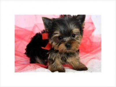 long hair yorkie puppies. Two gorgeous Yorkie puppies