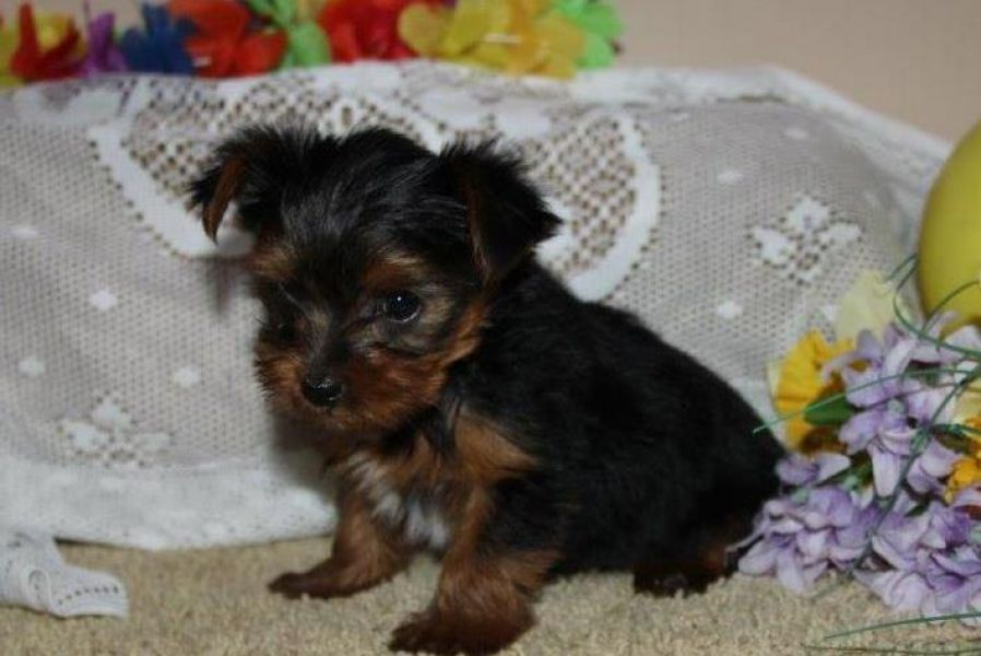 Yorkie Puppies For X-Mass text :774 234 8858