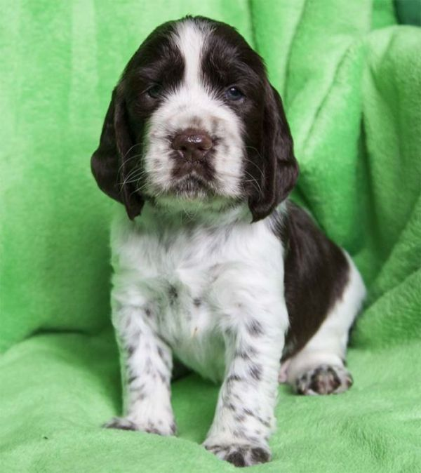 English Springer Spaniel puppies with pedigree