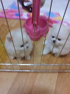 Cute  liters of teacup Pomeranian puppies