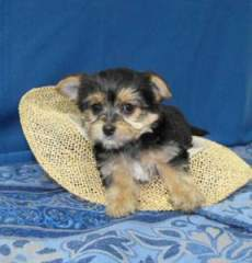 successful good looking yorkie puppies for homes for adoption.