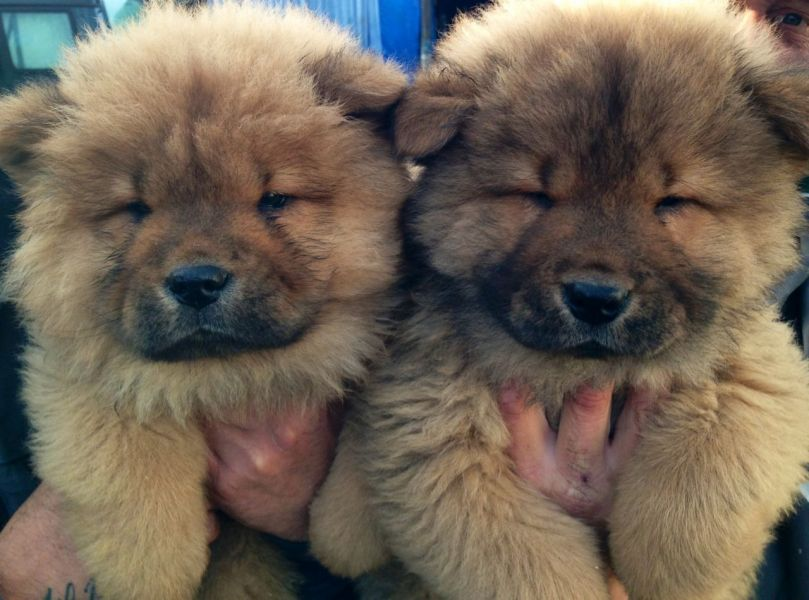 Charming chow chow puppies