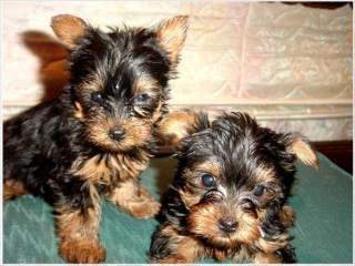 Home Trained Teacup Yorkie Puppies Available for sale and adoption