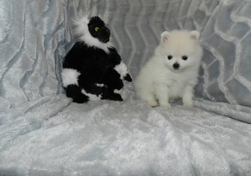 Outstanding White Pomeranian Puppies