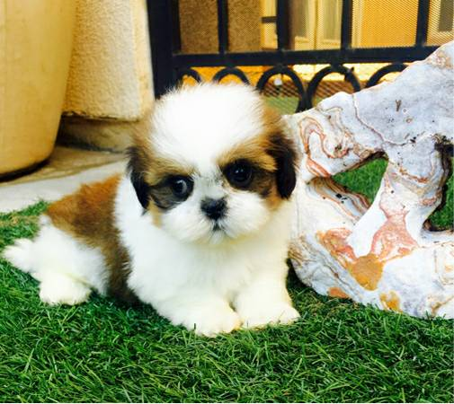 Teacup shih tzu pups ready to go now
