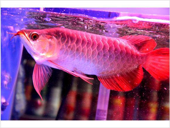 Certified Imported Arowana Fishes With Microchip And Tag