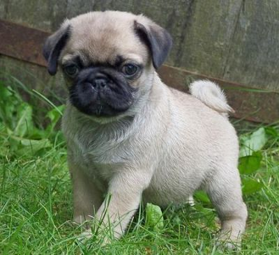 adorable pug puppies for a new home now