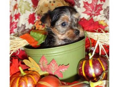 Sweet And Lovely Yorkshire Terrier Puppies