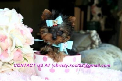 Home Trained Male and Female Teacup Yorkie Puppies for adoption