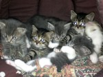Half Siberian Kittens For Sale