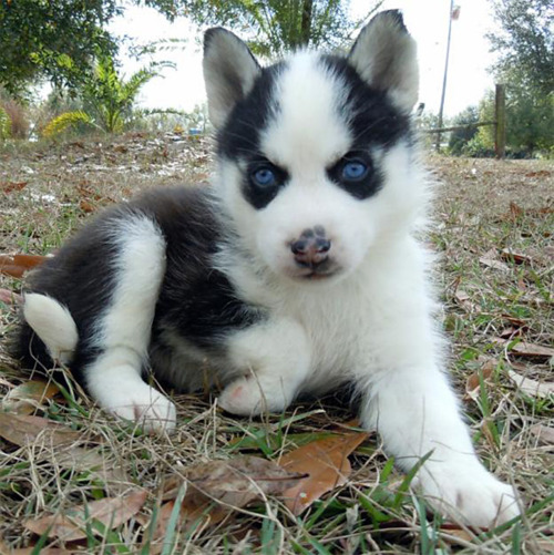 Siberian Husky Puppies for Sale Text Me At (215) 526-5512
