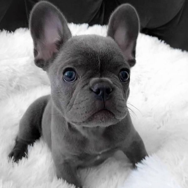 French Bulldog Puppies For Sale | https://sunshineteacuppuppieshome.com/