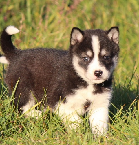 Alaskan Klee Kai puppies ready for sale.