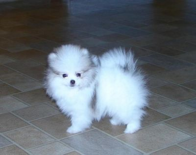 New litter tiny micro teacup pomeranian puppies/stunning Text us at (707) 744-6166