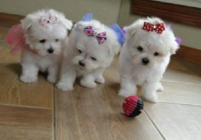 Cute Maltese Pups Ready To Go