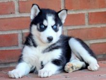 Husky puppies 2 females 4 males