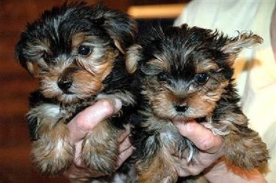 2 yorkie puppies for good homes now free