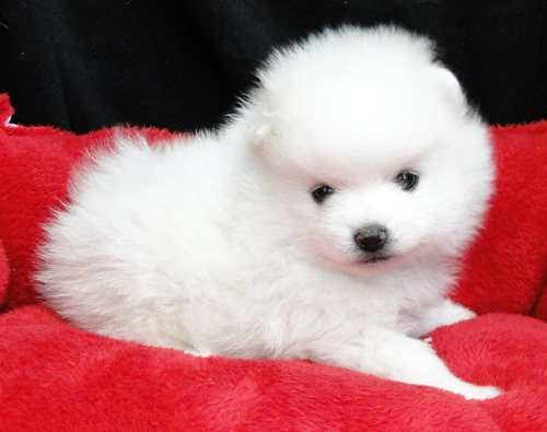 Pretty Little White Pomeranian Puppies