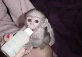 Cute and well trained Capuchin Monkeys for adoption