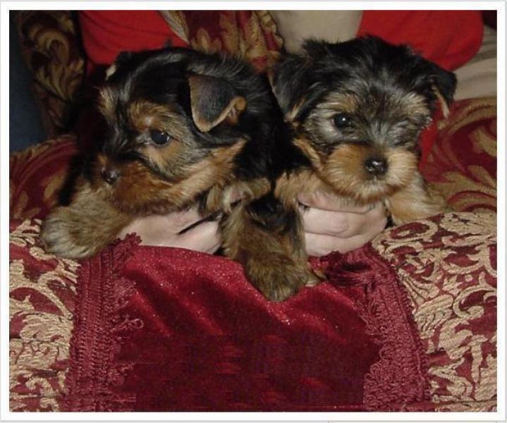 Adorable Teacup Yorkie puppies Needing A caring Family for Xmas .