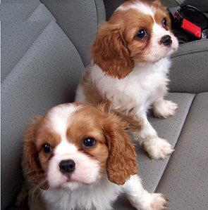 Upcoming Gorgeous Cavalier King Charles Pups KC Registered,Micro-Chipped,Vet Checked Ready Soon!!,,,