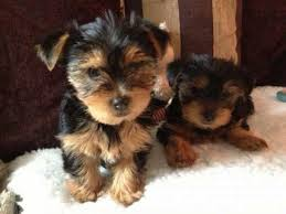 Teacup Yorkie puppies for sale reasonable price sale contact 551) 333-3400