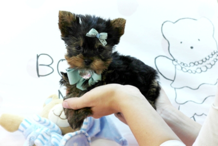 Teacup Yorkie puppies for sale as X-MASS gift for your loved ones