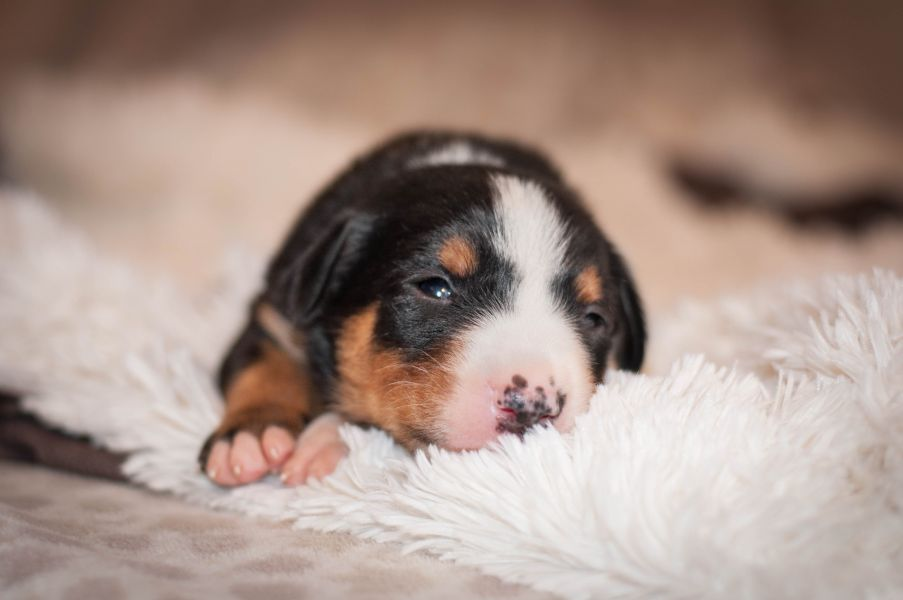Appenzeller mountain dog excellent puppies