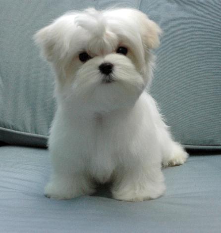 Maltese Dogs For Sale Kitchener