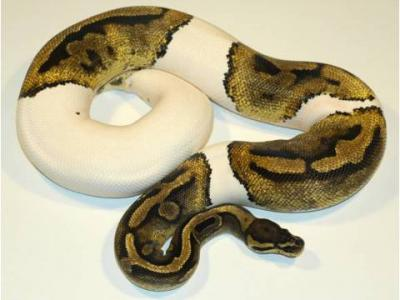 cute and adorable Ball ,Piebald and Albino pythons for adoption