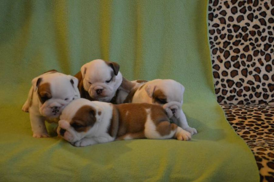 English Bulldog puppies with pedigree for sale