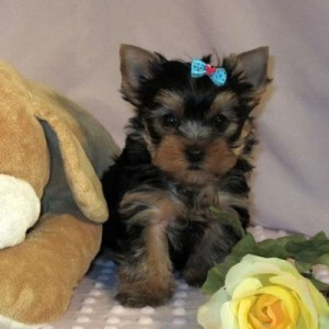 Tea cup yorkie  puppies for sale