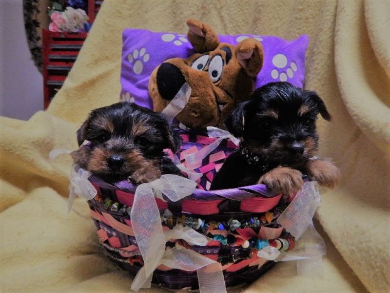Cute Yorkie's Puppies For Sale