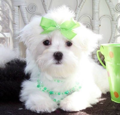 Maltese Puppy looking for new home
