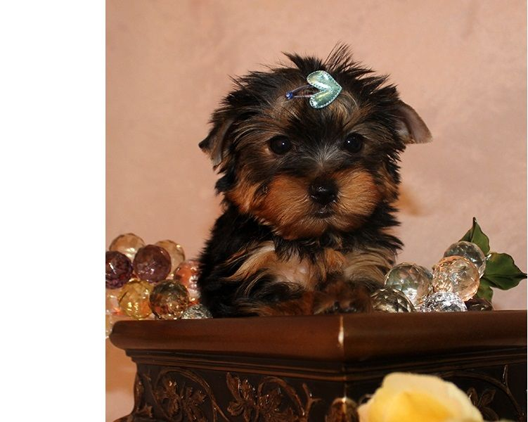 Excellent Tea-Cup Size Yorkie Puppies