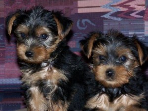 AFFECTIONATE YORKSHIRE TERRIER PUPPIES FOR ADOPTION