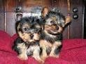 .Healthy teacup yorkie Puppies for free Adoption.....