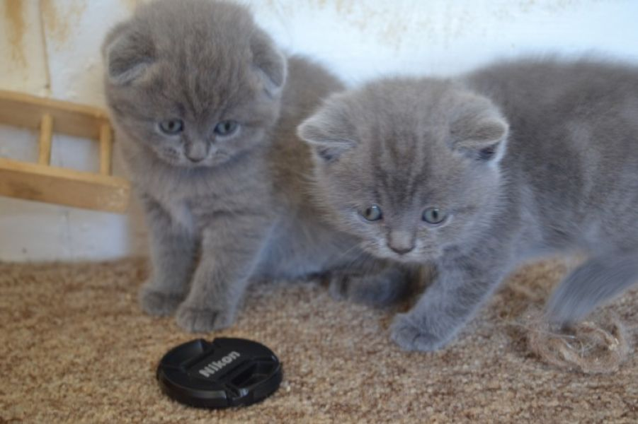 Scottish Fold Litter