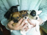 Very Sweet Jack Russell Puppies
