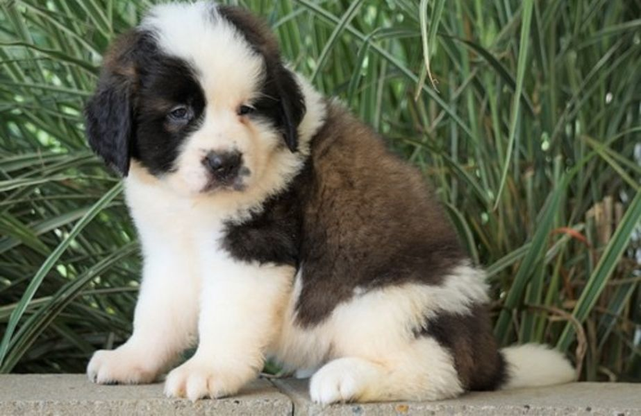 Available Saint Bernard puppies For adoption