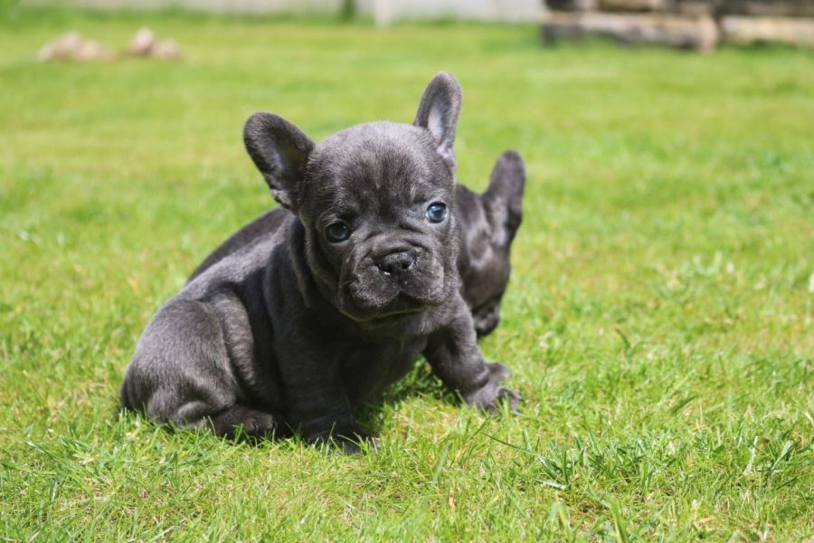 Trained Male and Female French Bulldog Puppies for sale