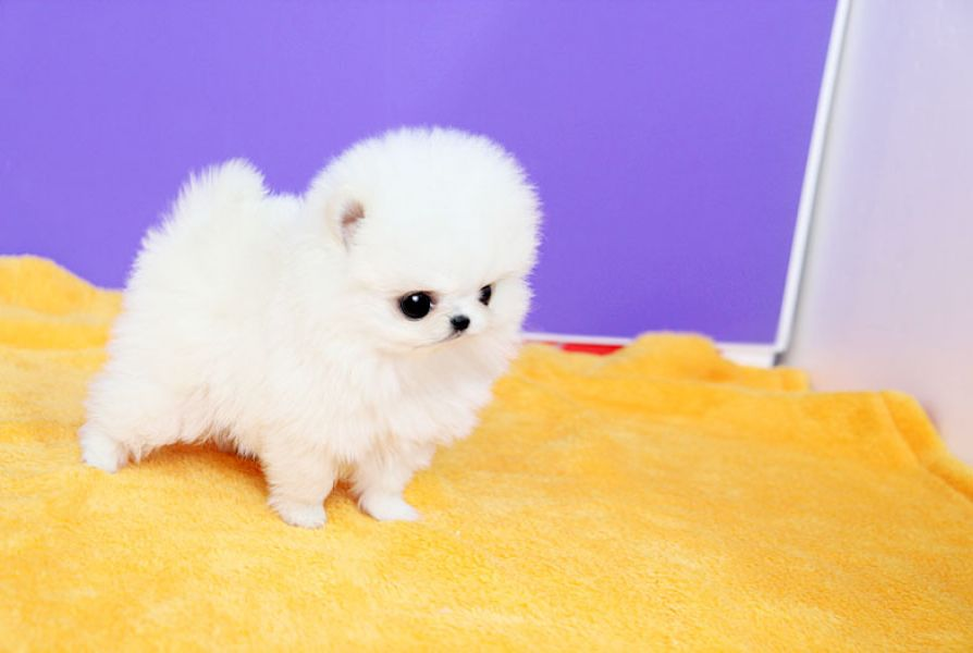 Adorable Micro Teacup Pomeranian Red/White Available