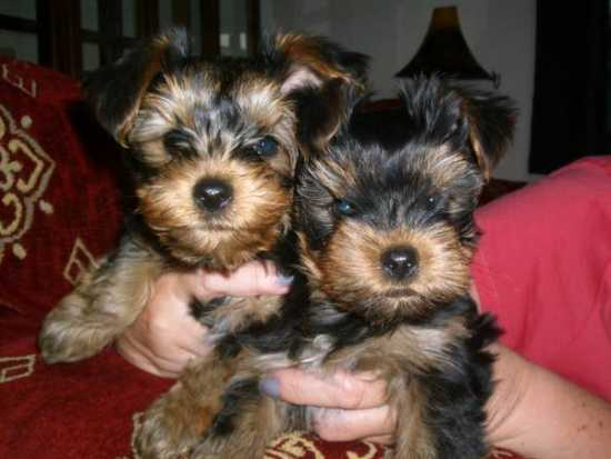 Baby Adorable Yorkie Puppies For Adoption.