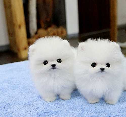 Two Pomeranian puppies ready now, TEXT 484) 265-1106