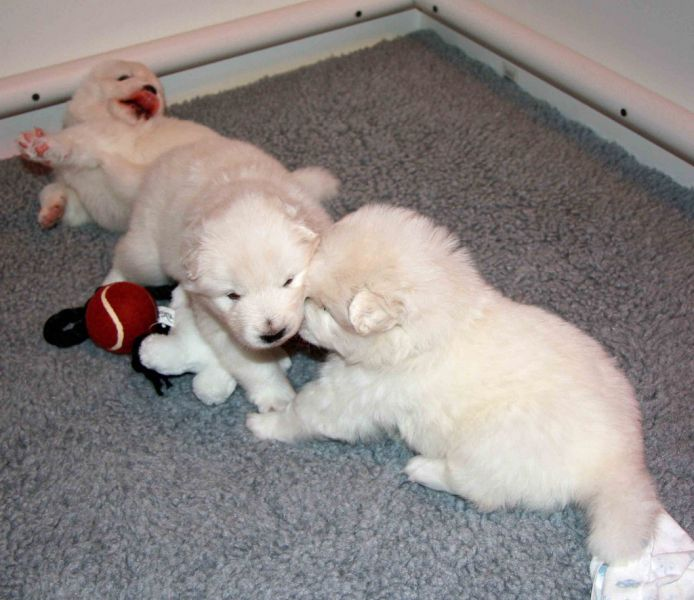 Samoyed puppies ready for a loving new home
