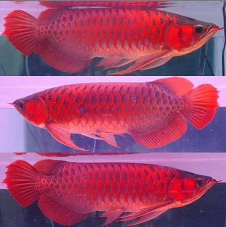 Arowana fish for sell