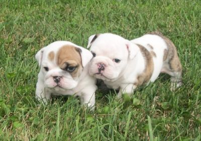 cute looking english bulldog for lovers of pets