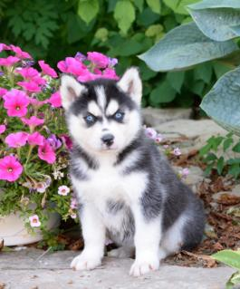 Gift  adorable siberian husky puppies for adoption