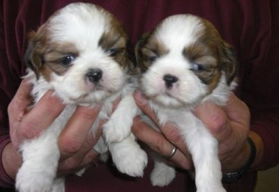 ajaja shih tzu  puppies for sale