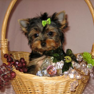 SUPER CUTE YORKIE PUPPIES FOR A NEW HOME